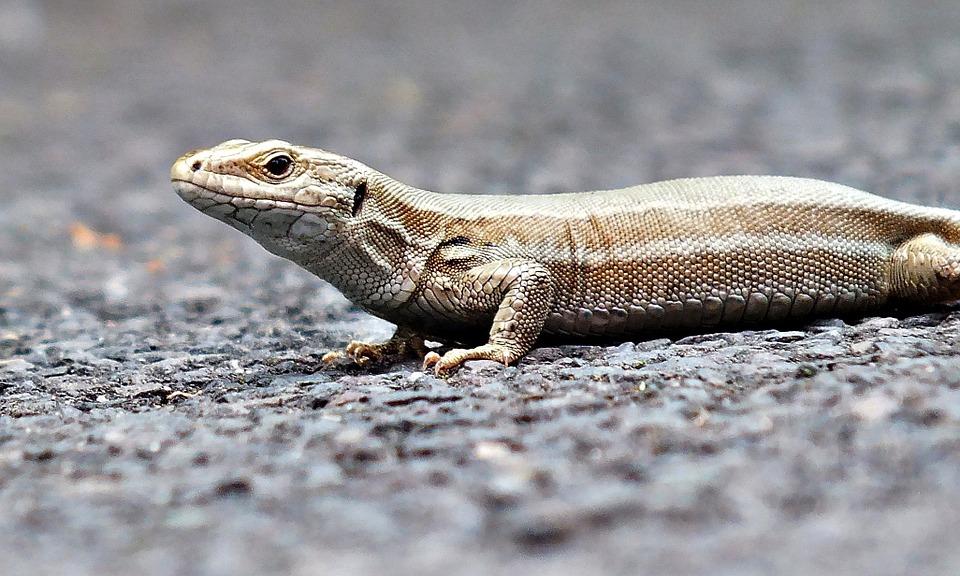 the-lizard-847001_960_720